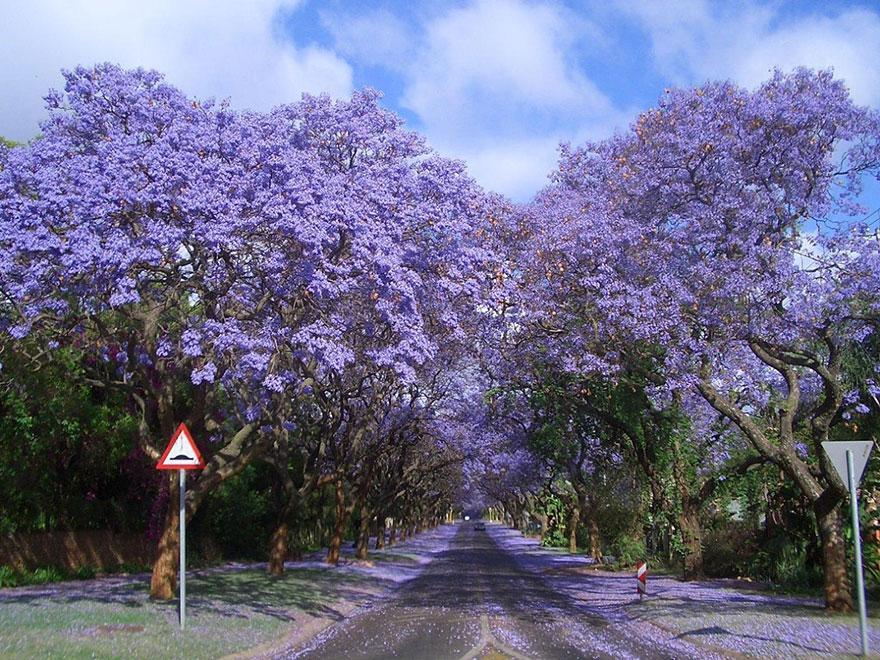 jacarandas walk
