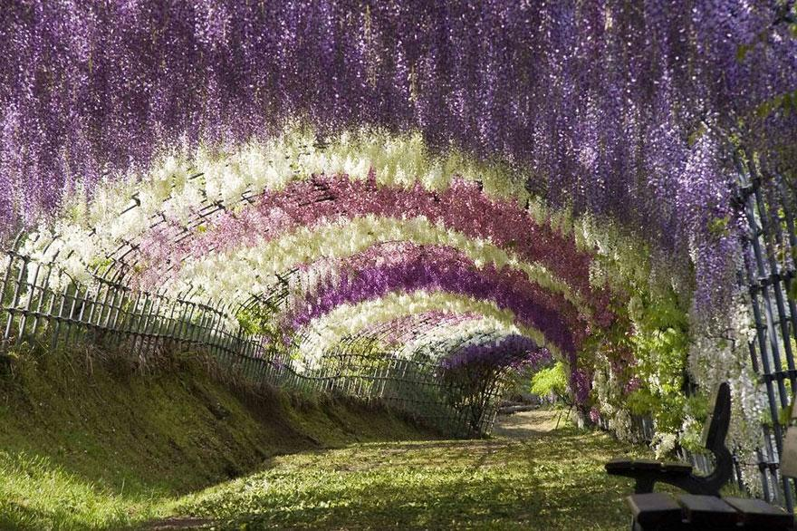 wisteria japan 2