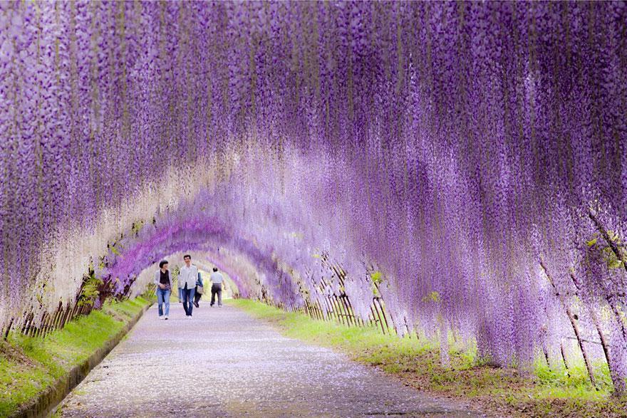 wisteria flower japan